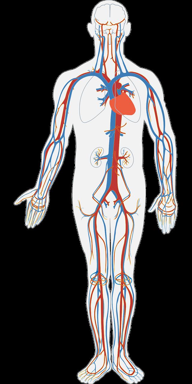jak dbać o układ krwionośny